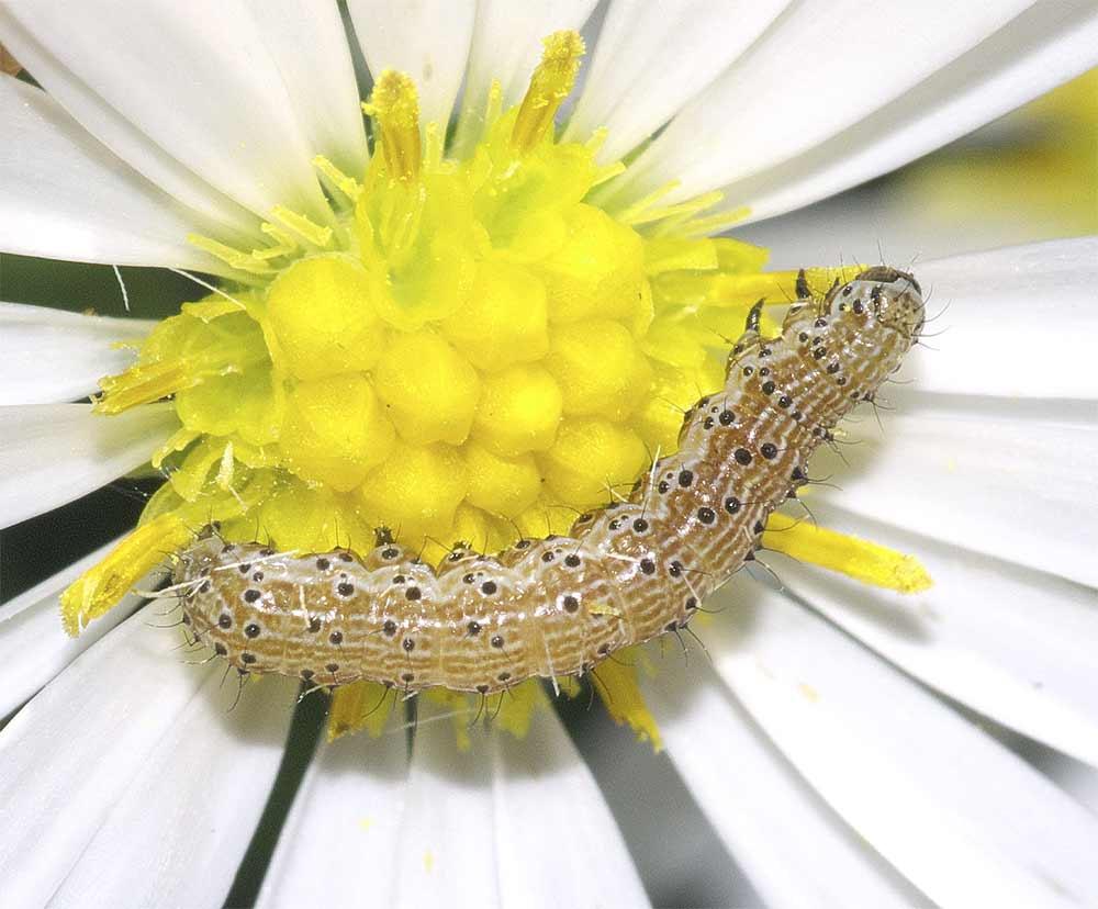 オオタバコガの幼虫(3齢)6