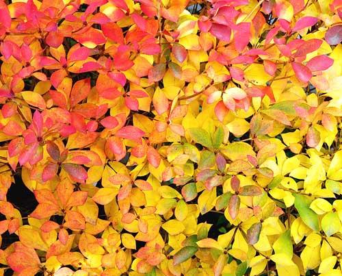 ドウダンツツジの紅葉と黄葉1