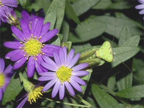 北米原産シオンの1種(紫花)6