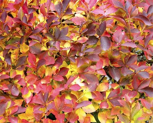 ドウダンツツジの紅葉と黄葉2