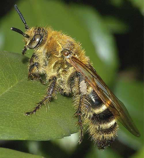 キンケハラナガツチバチ(雌)2