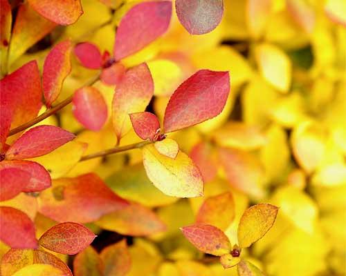 ドウダンツツジの紅葉と黄葉3