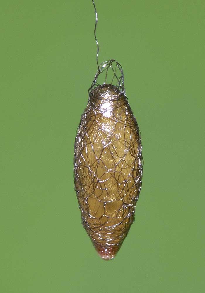 コマユバチ科コシボソコマユバチ亜科の1種(繭)2