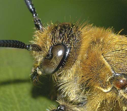 キンケハラナガツチバチ(雌)3