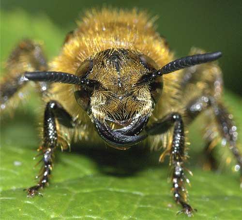 キンケハラナガツチバチ(雌)4