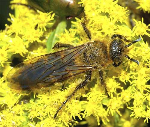 キンケハラナガツチバチ(雌)5
