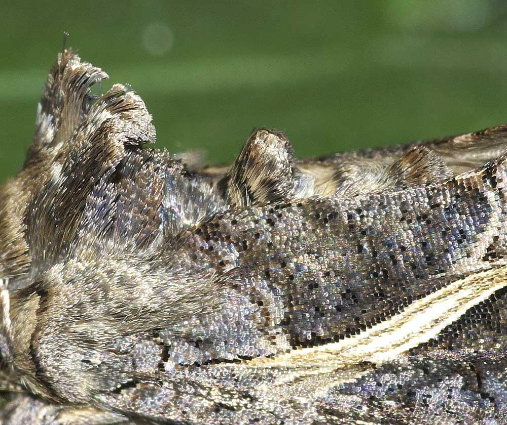 エゾギクキンウワバの鱗粉1