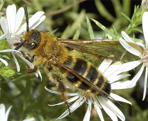 キンケハラナガツチバチ(雌)6