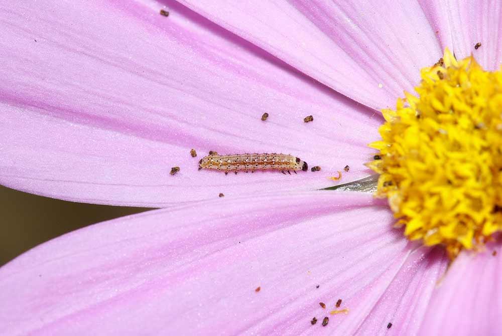 オオタバコガの幼虫(2齢)1