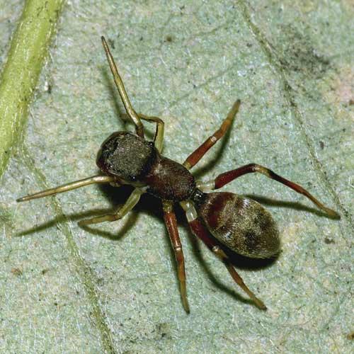アリグモ(雌)1