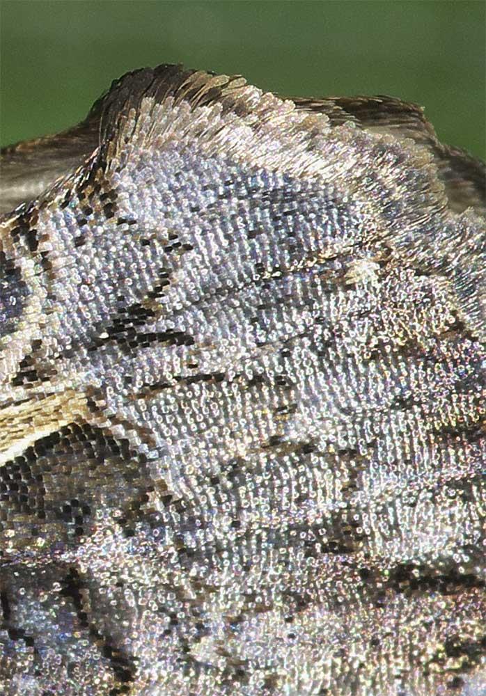 エゾギクキンウワバの鱗粉2