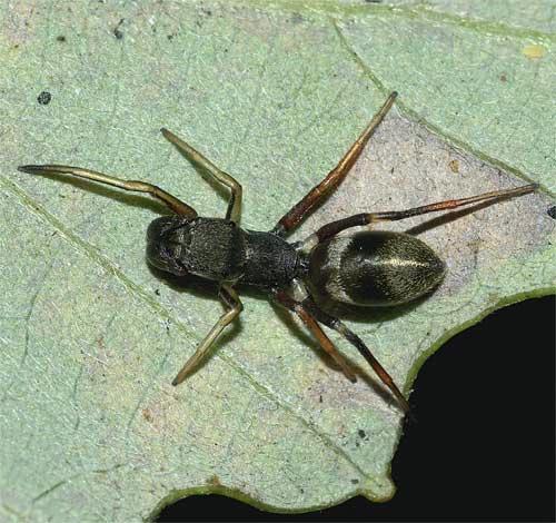 アリグモ(雌)2
