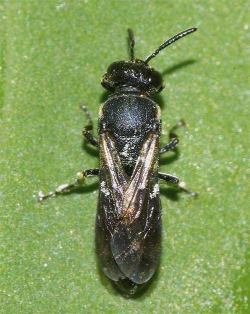 メンハナバチの1種(Hylaeus sp.)1