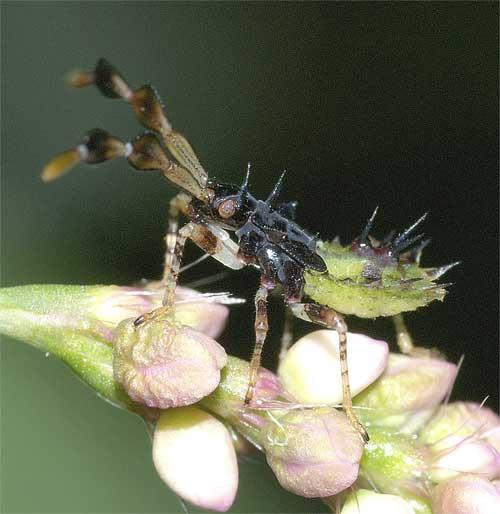 ハリカメムシの幼虫(4齢)2