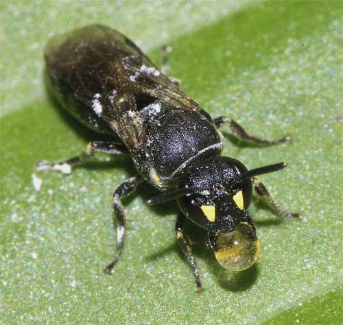 メンハナバチの1種(Hylaeus sp.)2