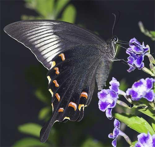 カラスアゲハ(雌)1