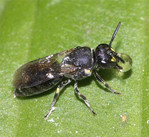 メンハナバチの1種(Hylaeus sp.)3