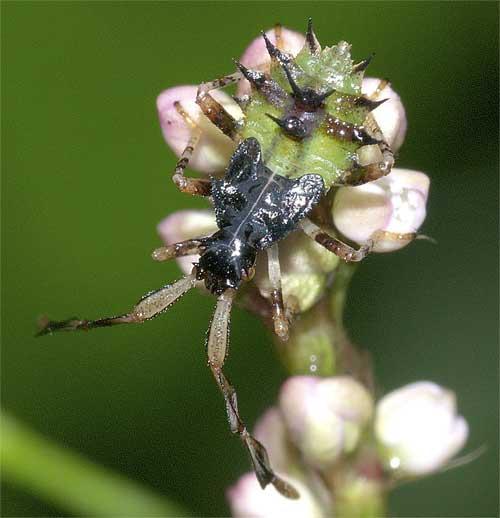 ハリカメムシの幼虫(4齢)5