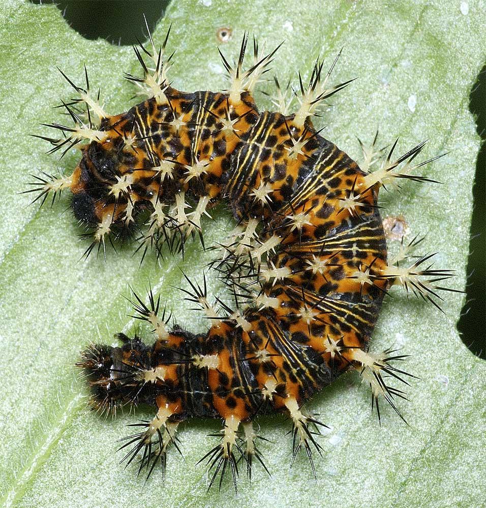 ルリタテハの終齢幼虫1