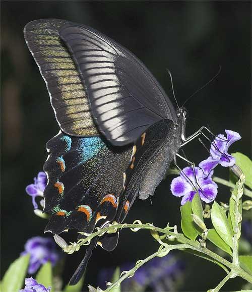カラスアゲハ(雌)3