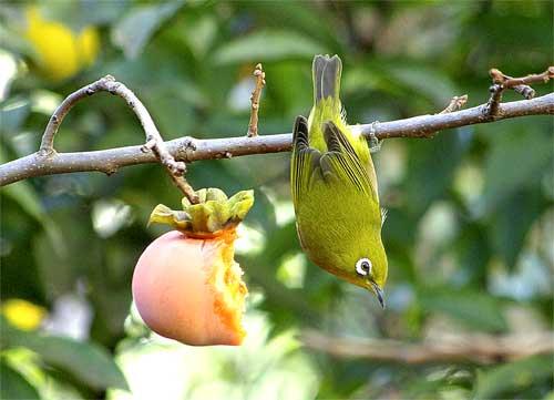 柿を食うメジロ2