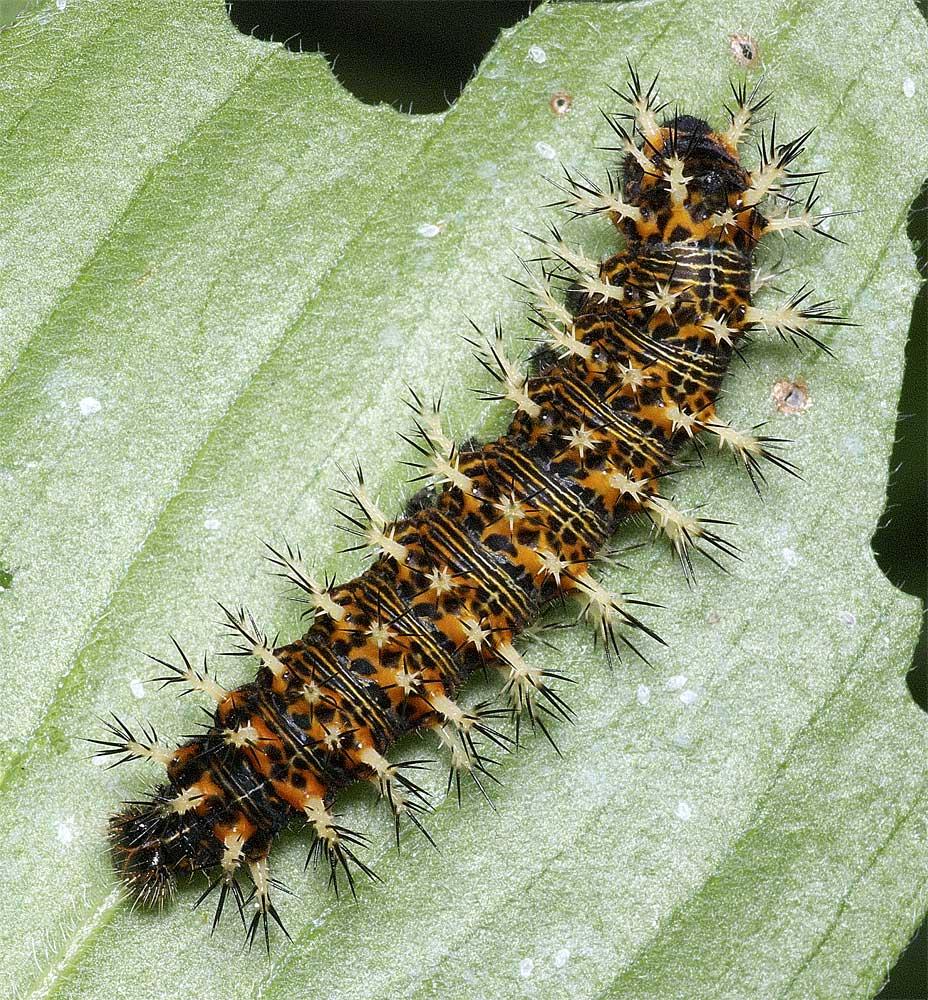 ルリタテハの終齢幼虫2