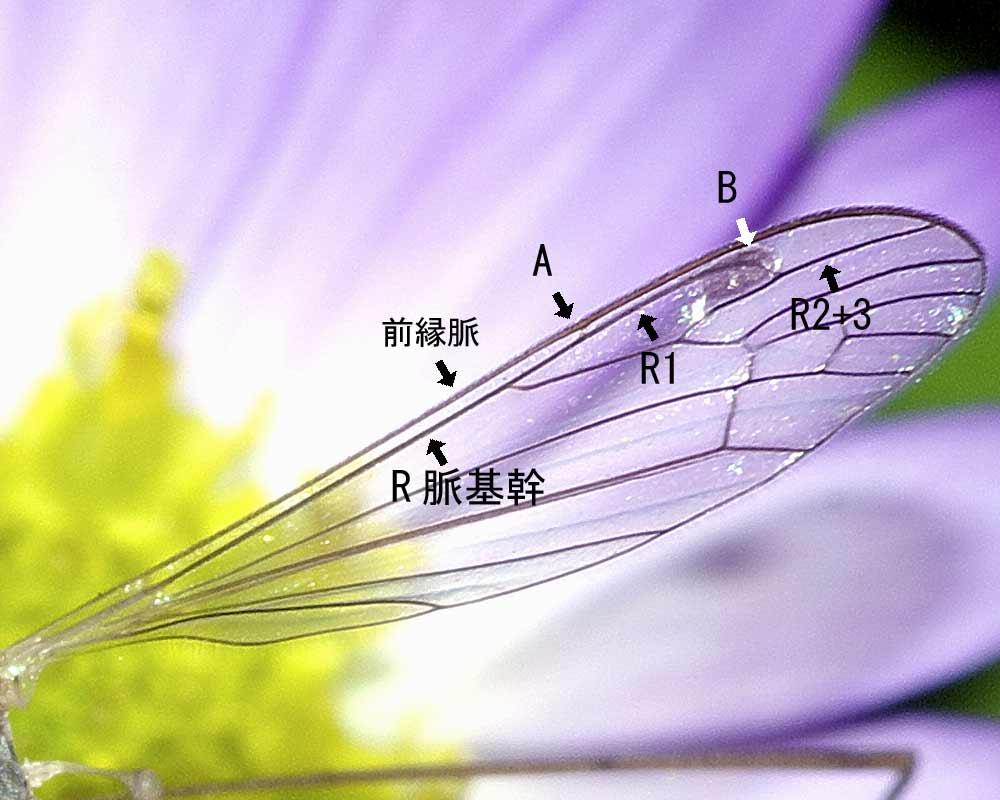 Geranomyia gifuensis 3