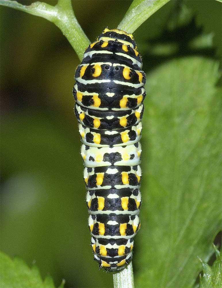 キアゲハの幼虫(4齢)1