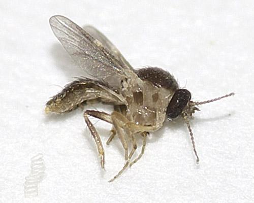 ヌカカの1種(Forcipomyia sp.?)1