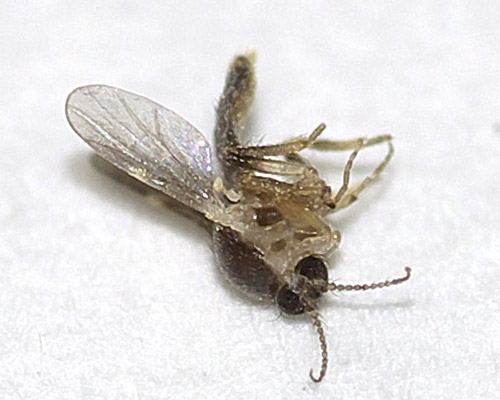 ヌカカの1種(Forcipomyia sp.?)2