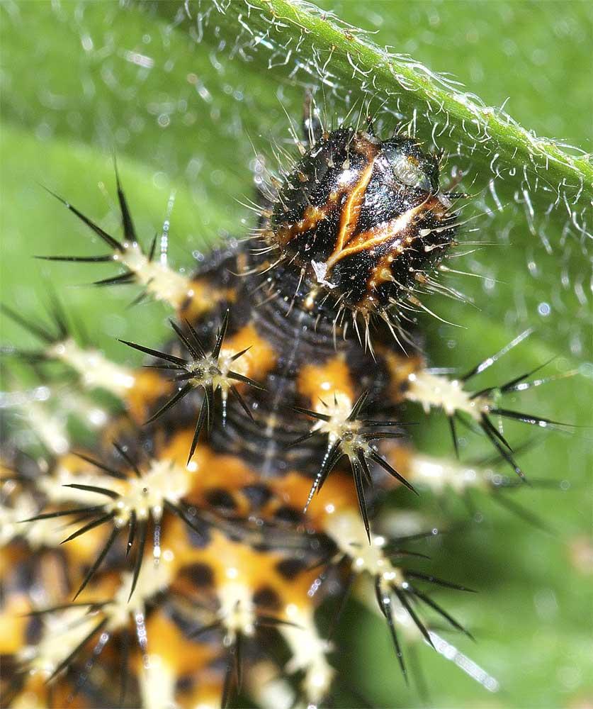 ルリタテハの終齢幼虫4