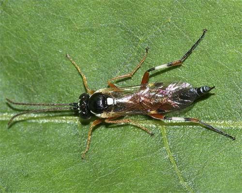 ヒメバチの1種(その3)