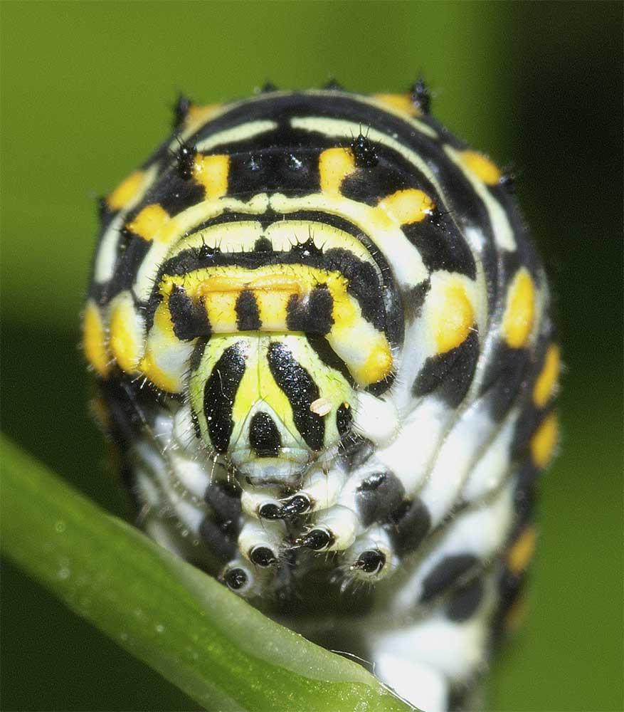 キアゲハの幼虫(4齢)3