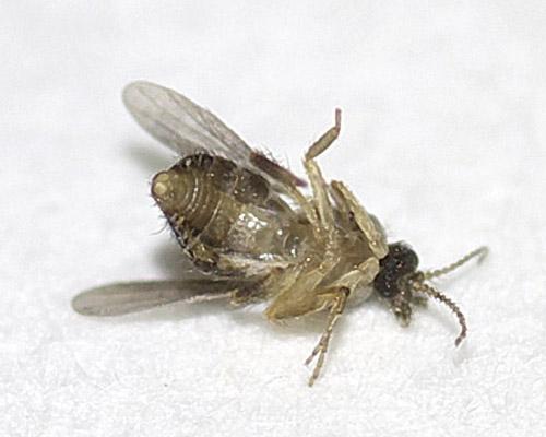 ヌカカの1種(Forcipomyia sp.?)3
