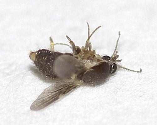 ヌカカの1種(Forcipomyia sp.?)4