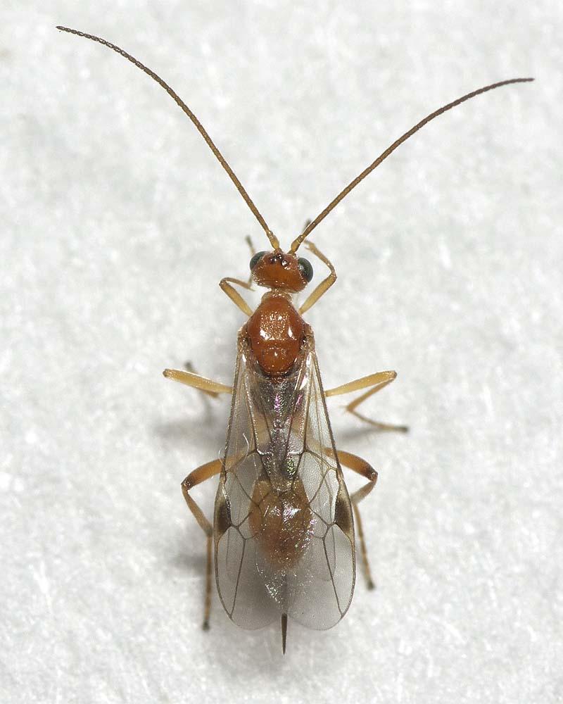 ギンケハラボソコマユバチ1