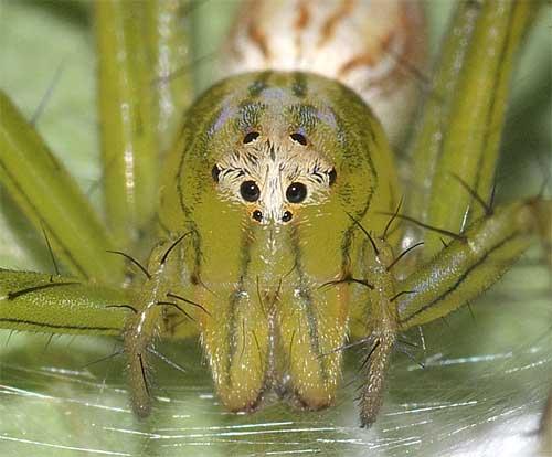 ササグモ(卵を守る母グモ)3