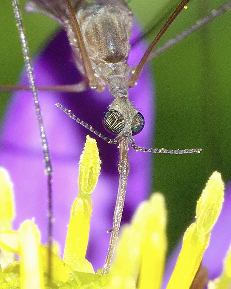 Geranomyia gifuensis 6