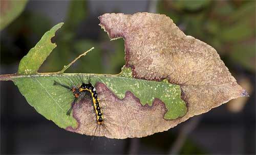 ヒメシロモンドクガの幼虫1