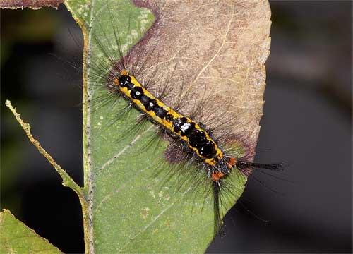 ヒメシロモンドクガの幼虫3