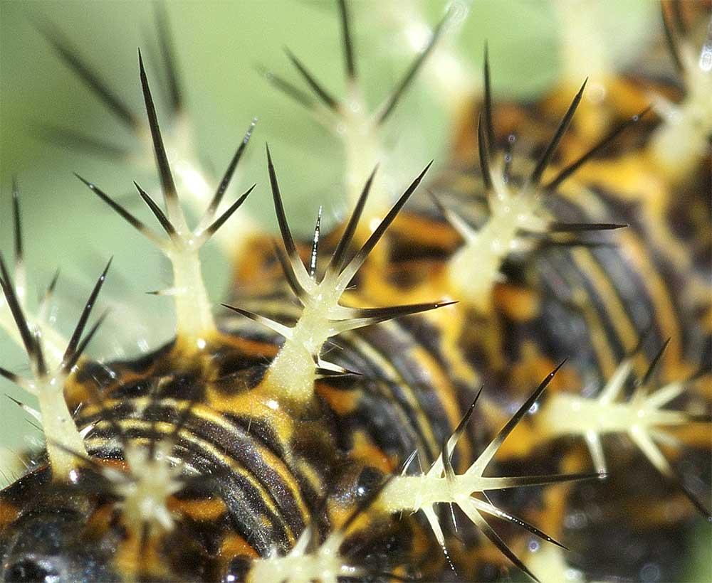 ルリタテハの終齢幼虫7