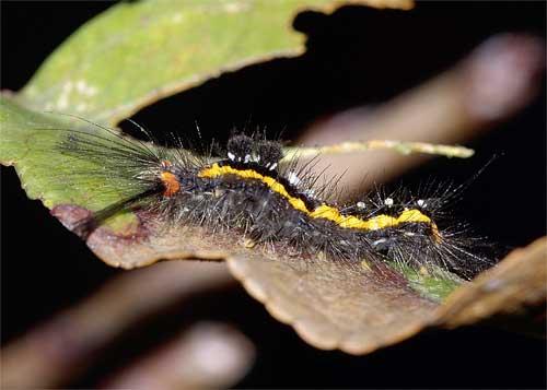ヒメシロモンドクガの幼虫.横から