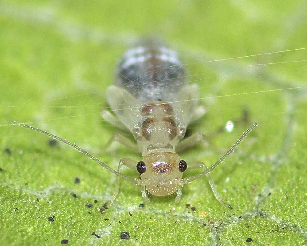 ヨツモンホソチャタテの幼虫(終齢=6齢)3
