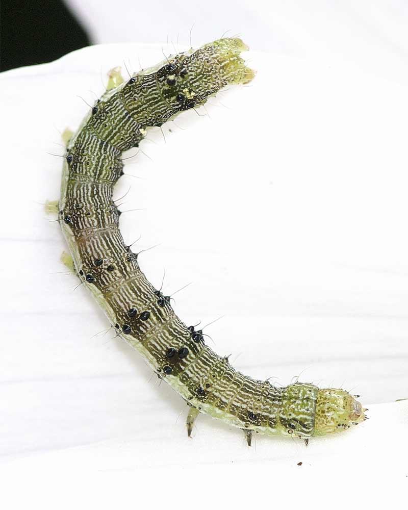 オオタバコガの幼虫(5齢)2