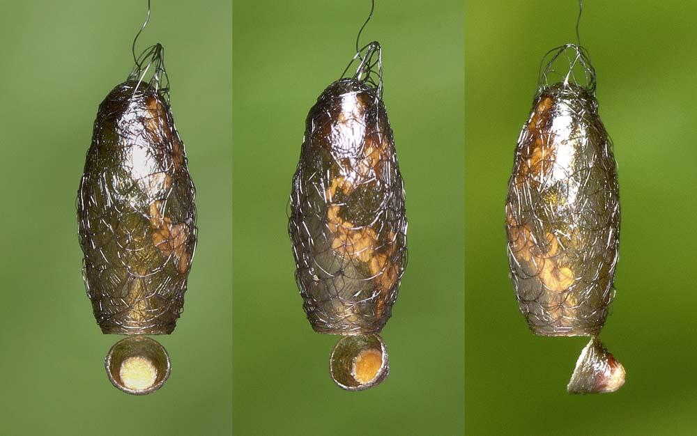 ギンケハラボソコマユバチの繭(脱殻)