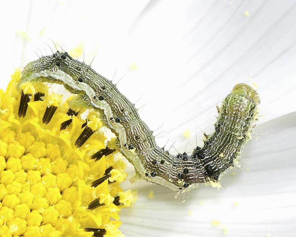 オオタバコガの幼虫(5齢)3