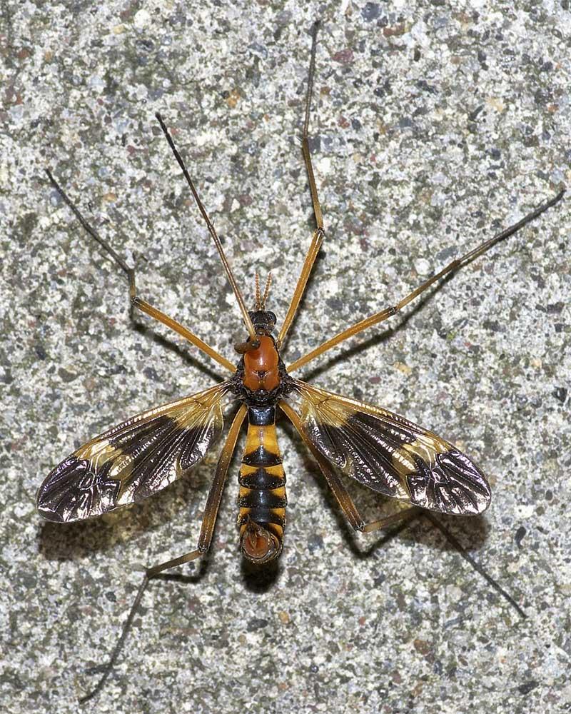 ホリカワクシヒゲガガンボ(雌)1