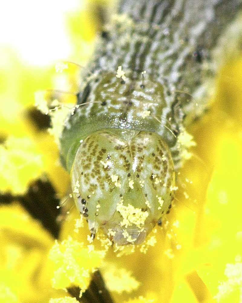 オオタバコガの幼虫(5齢)4