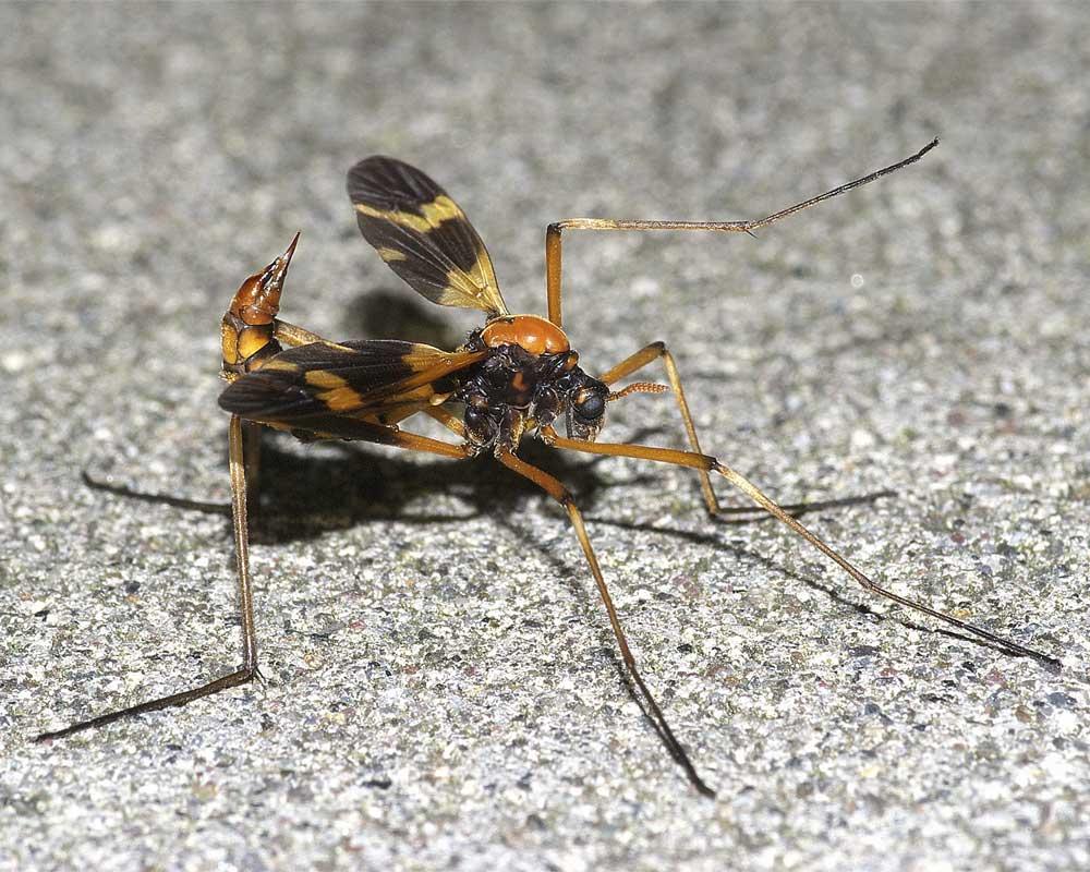 ホリカワクシヒゲガガンボ(雌)2