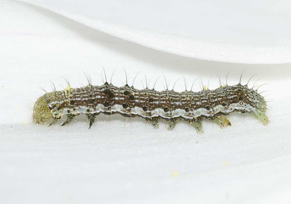 オオタバコガの幼虫(4齢)3
